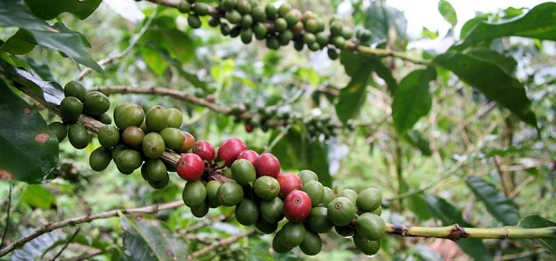 Kaffebusk med modnende bær.